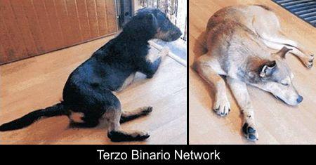 BOLLATE (MILANO): SMARRITI ESDRA (CANE NERO) E LADY (MARRONE) http://www.terzobinarionetwork.com/2018/01/bollate-milano-smarriti-esdra-cane-nero.html