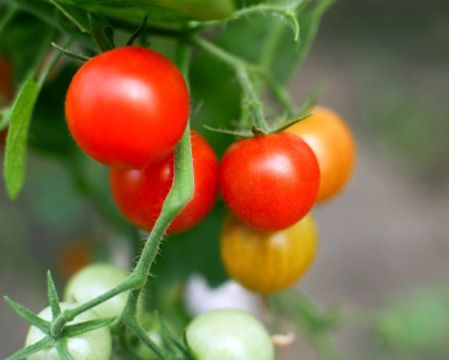 Secret to growing great tomatoes