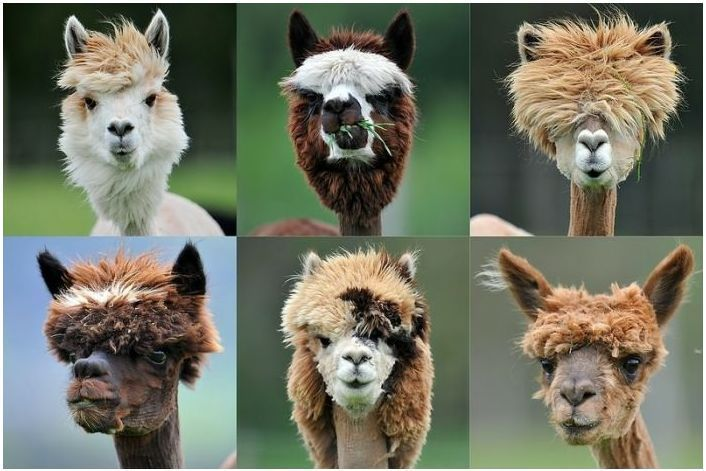 They're just cool!New Hair, The Farms, Shaving Alpacas, Burning Flames, Funny, Haircuts Style, Hair Style, Retro Hairstyles, Animal