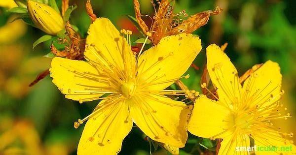 Das Johanniskraut ist wunderschön und hilft dir den Sommer und die Sonne das ganze Jahr über zu genießen. Finde heraus wie!