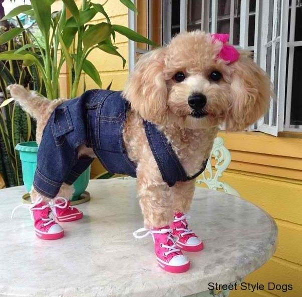 poodles dress up