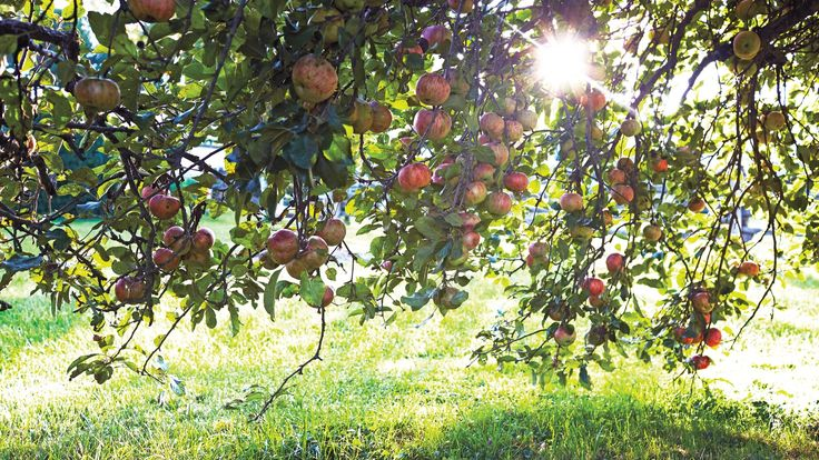Hints and Tips for Picking Apples and Making Applesauce