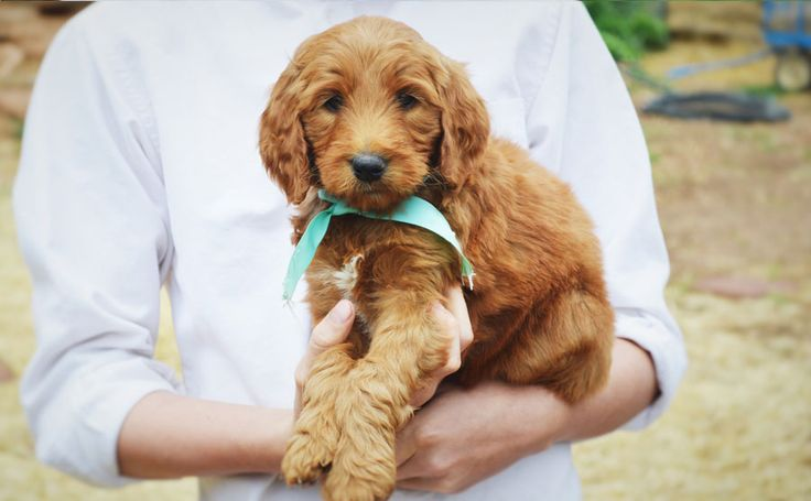 F1B Goldendoodle by~http://www.mountainbluedoodles.com/