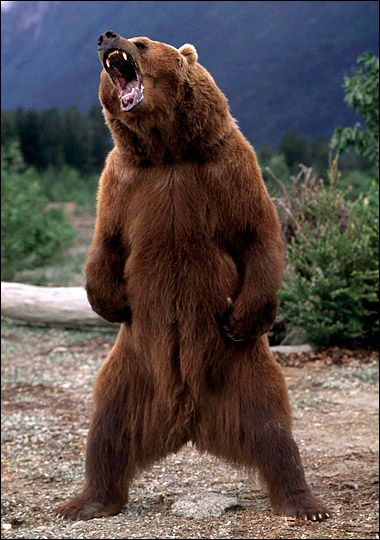 Grizzly bears (Ursus arctos) - The History