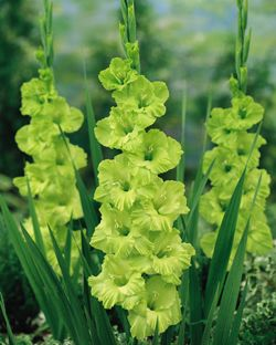 this will be my accent colour.  I planted a lot of these.  Love the color!