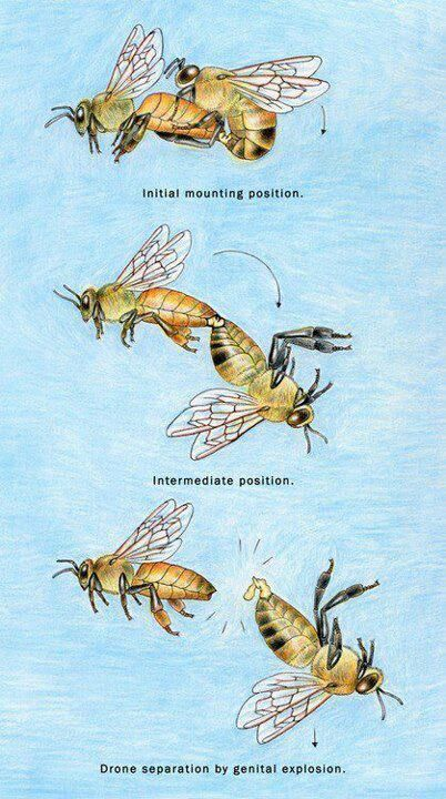 The circle of life and death during the fertilization of the Queen Bee.