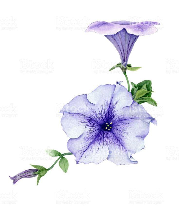Petunias Painting Shrubs In 2020 Petunia Flower Petunia Tattoo Flower Drawing