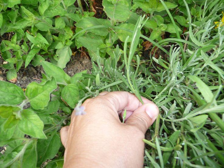 Ręko-czyny: Rozmnażanie lawendy z odnóżek