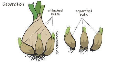 What is separation and division in vegetative reproduction #vegetative #reproduction #tullip