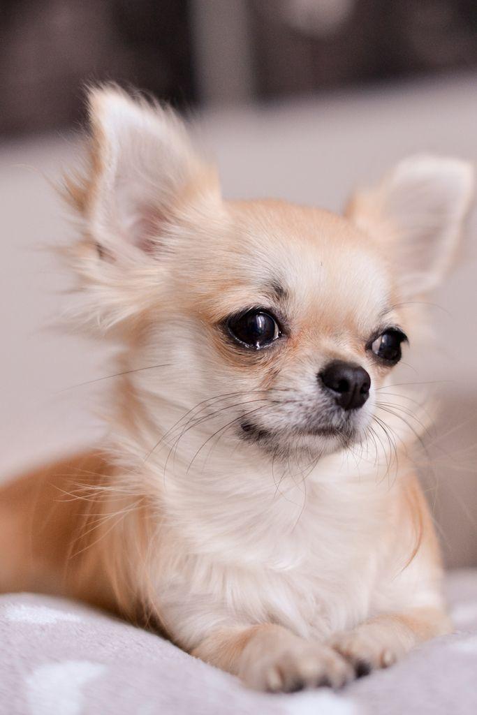 Картинки собаки порода чихуахуа