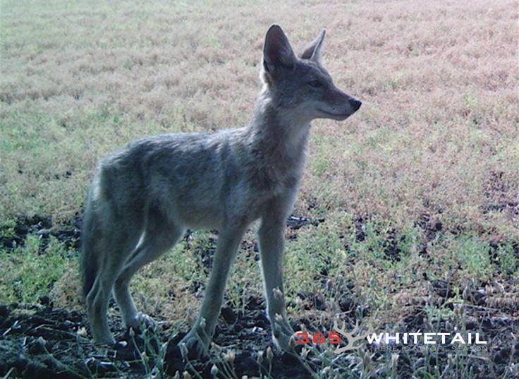 Calling Coyotes Six Tips