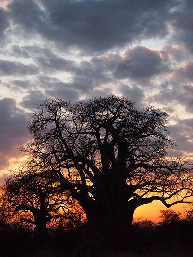 Baobob at Sunset, Tanzania