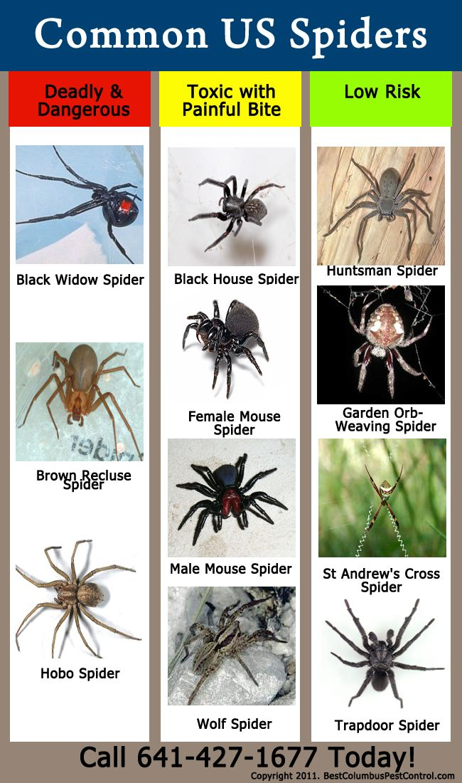 USA common spider identification chart