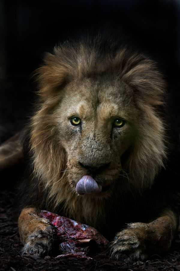 lion: Wild Cat, Big Cat, Sue Demetriou, Lion Kings, Animal Kingdom,  King Of Beasts, Dinner Time, Animal Creatures, Adorable Animal