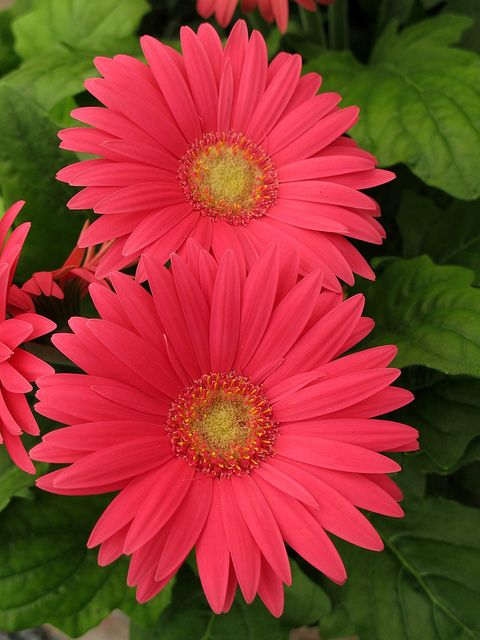 Gerbera Daisy, Maryland Spring Flowers IMG_7510  Photograph by Roy Kelley using a Canon PowerShot G11 camera.  Roy and Dolores Kelley Photographs.