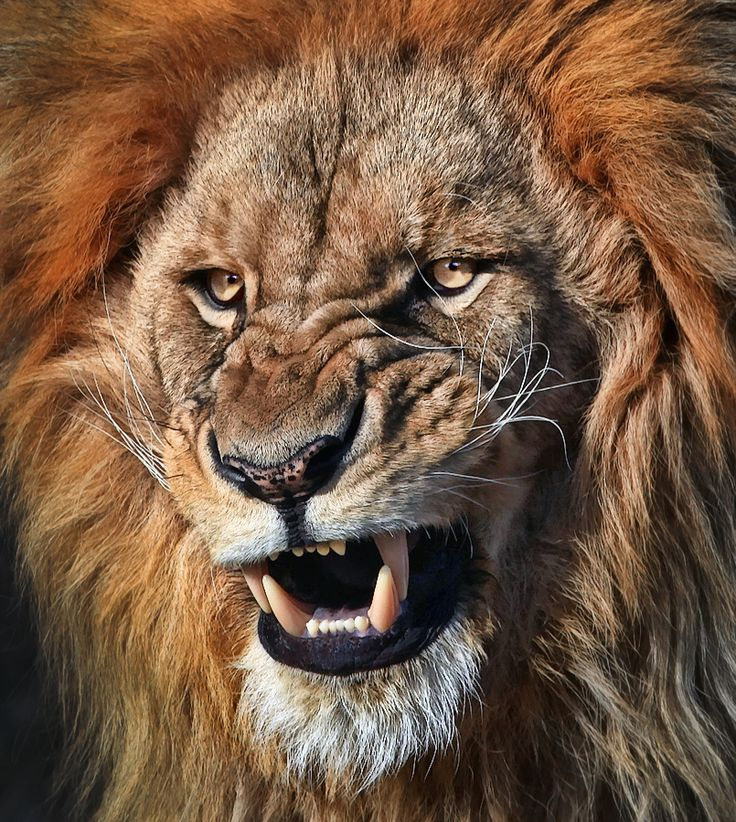 8k Animal Wallpaper Download: Photograph Still Angry By Klaus Wiese On 500px