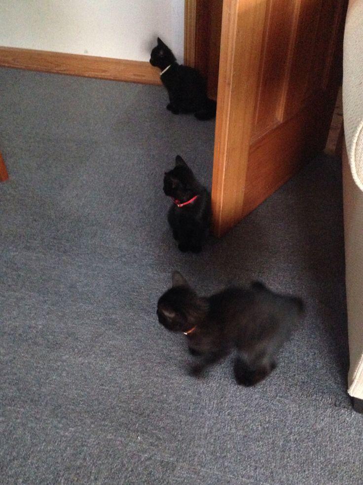 突然のカラスの鳴き声にこわがる黒猫ボンベイの三つ子たち^_^