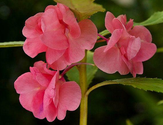 Erbstück 150 Samen Impatiens Balsaminared Impatiens Balsamina Balsam Camelia Pink Flower Bulk Seeds B2076