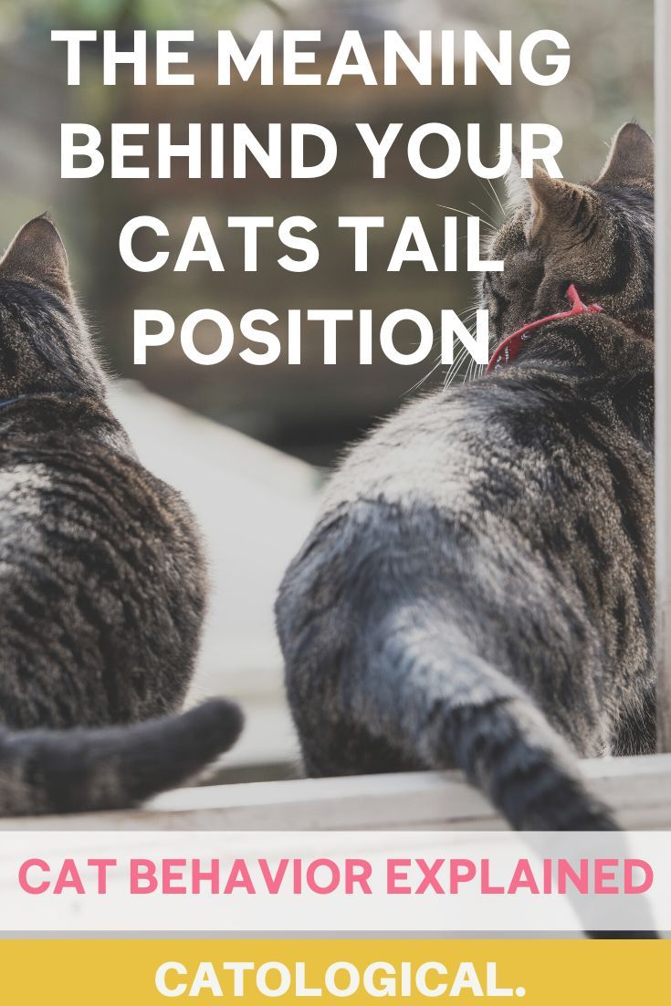 Cat Tail Position Meanings High Low Tucked Twitching And More In 2020 Cats Cat Tail Cat Behavior