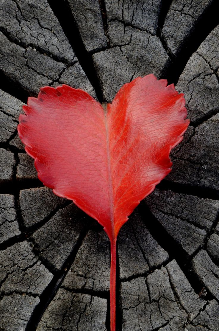 Red, Heart Shaped Leaf.