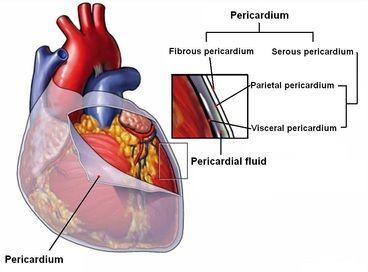 Pericardium  & Serous membranes  Visceral & Parietal Layers