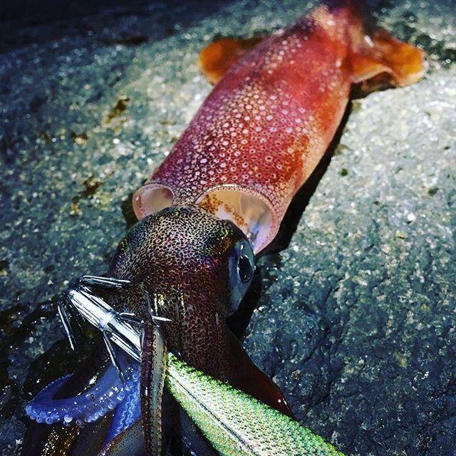 【ruimte18】さんのInstagramをピンしています。 《おじさん生態調査終了〜✨ @masa477  #こんばんは #hello #sea #海 #釣り #fishing  #おったなぁー #イカ #ヤリイカ #アオリ どこ #おじさん2人 #賑わう #今回は量が多い日 #エギ #エギング #yamashita  #エメラルダス #マグキャスト #daiwa #shimano #瀬戸水産 #イカ部 #instagram #instagood #insta #いいねください #フォロー #followme》