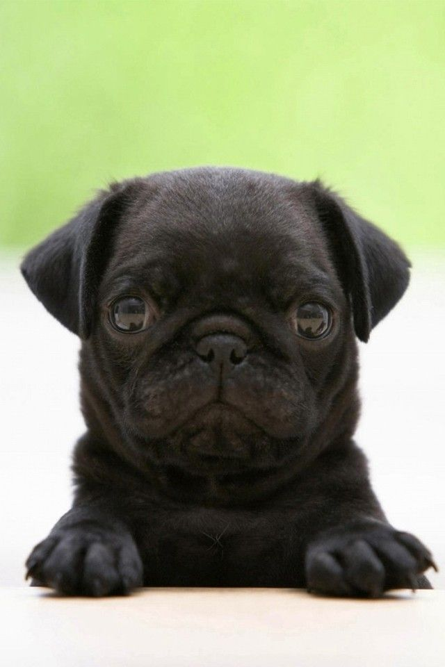 Black Pug Wallpaper 4k For Mobile Android Iphone Pug Puppies Black Pug Puppies Pug Dog