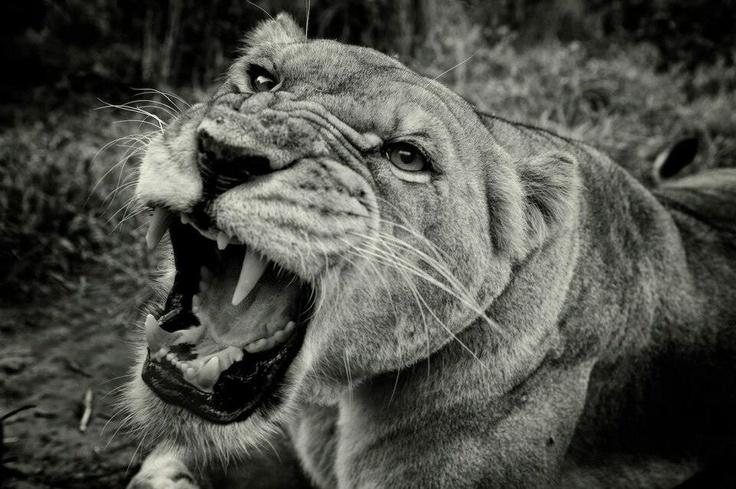 Lioness' roar | Tattoos | Pinterest