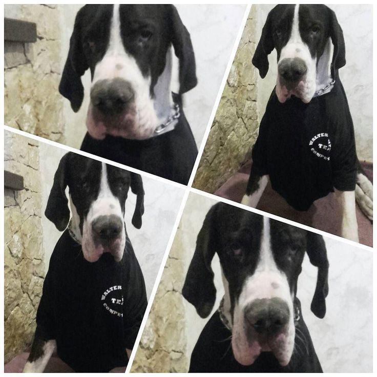 En conmemoración a la copa que se entrega hoy por la IFBB de Benidorm..tenemos al competidor..Bel.luchet..que compite en Dog's psyqué..que planta! que líneas ! P.D. esa cara es debida a la falta de hidratos..#bellucho #tshirt#greatdane #greatdanes #greatdanesofinstagram #grandes #grandanes #dog#dogo#dogos#dogosalemanes #dogoaleman #pet#family #puppy #bebe#chewacaencompeticion#love by blankagarciacervera