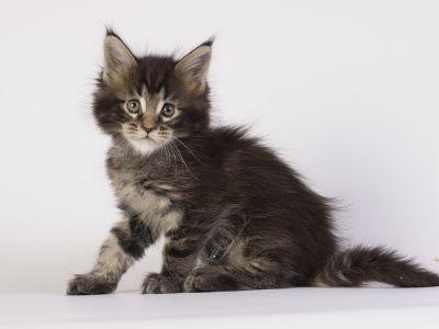 котенок Gulliver Estate Pearls фото в возрасте 5 недель, окрас черный мрамор