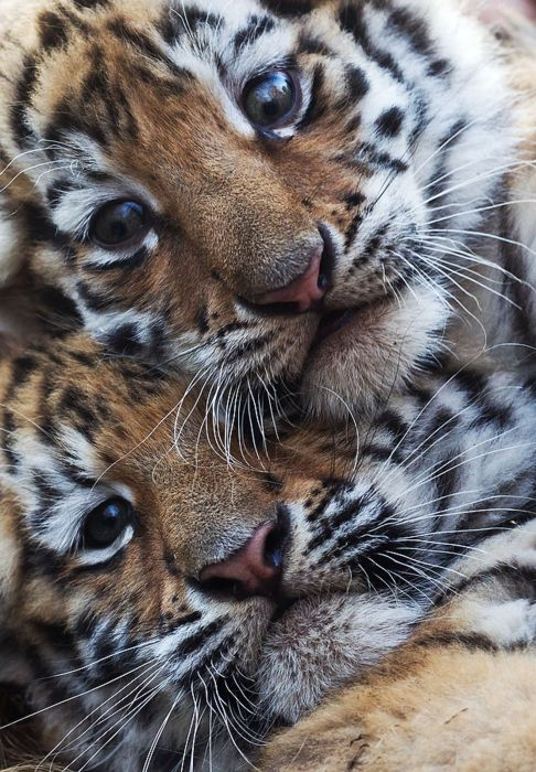 Two young tigers are pictured at the zoo in Magdeburg, eastern Germany. AFP PHOTO / JENS WOLF