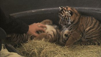 Petting & cuddling newborn tiger cubs