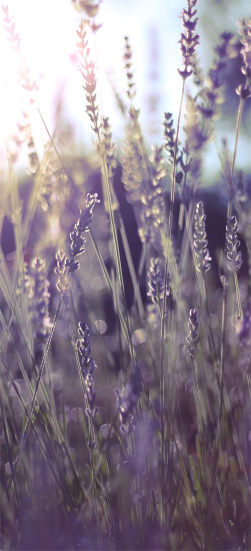 Sun kissed, endlessly fragrant lavender. #garden #summer #lavender