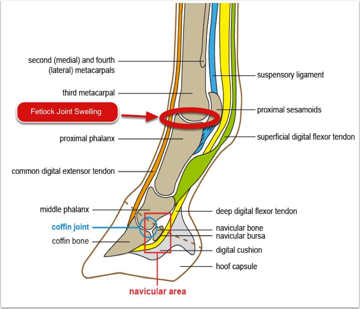 Image Result For Fetlock Joint