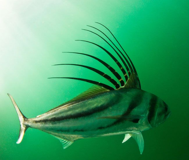 Rooster fish so cool the extraordinary universe for Rooster fish pictures