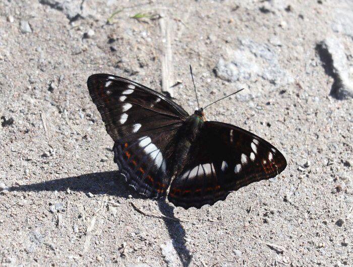 Haapaperhonen, poplar admiral butterfly