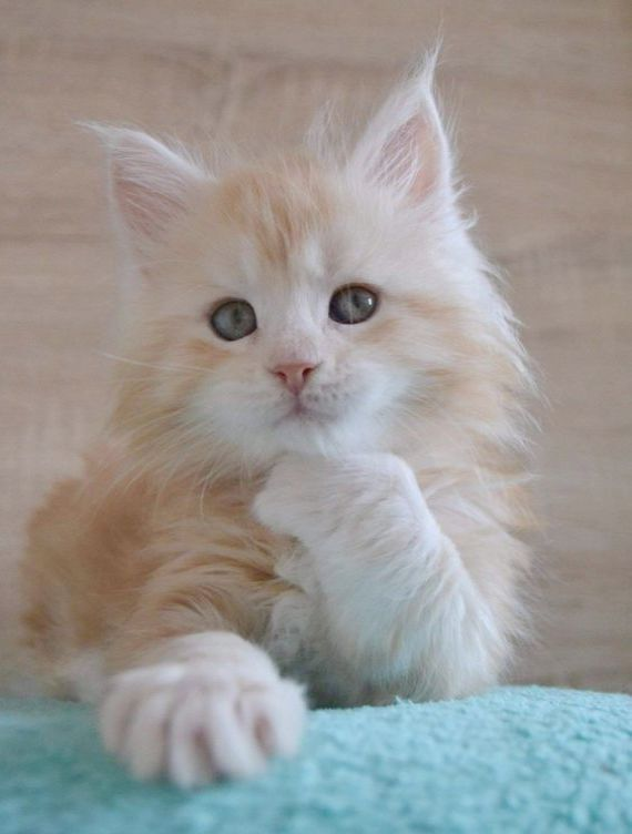 Cute Animals Big Eyes Persian Cats And Kittens For Sale In