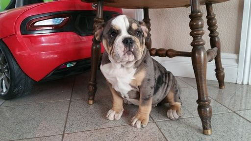 Litter Of 7 English Bulldog Puppies For Sale In Westminster Ca