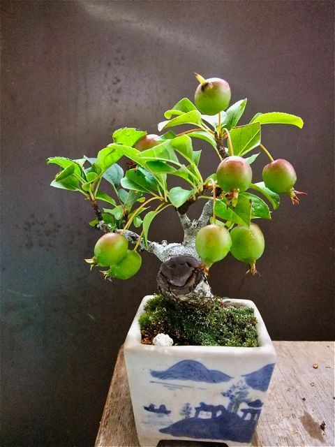 100 besten bonsai bilder auf pinterest bonsai blumen und baumgarten. Black Bedroom Furniture Sets. Home Design Ideas