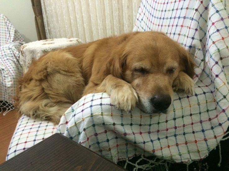 #sleep #dogs #goldenretiever