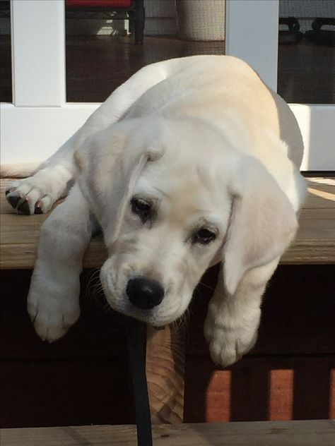 adorable yellow lab pup - Tap the pin for the most adorable pawtastic fur baby apparel! You'll love the dog clothes and cat clothes! <3