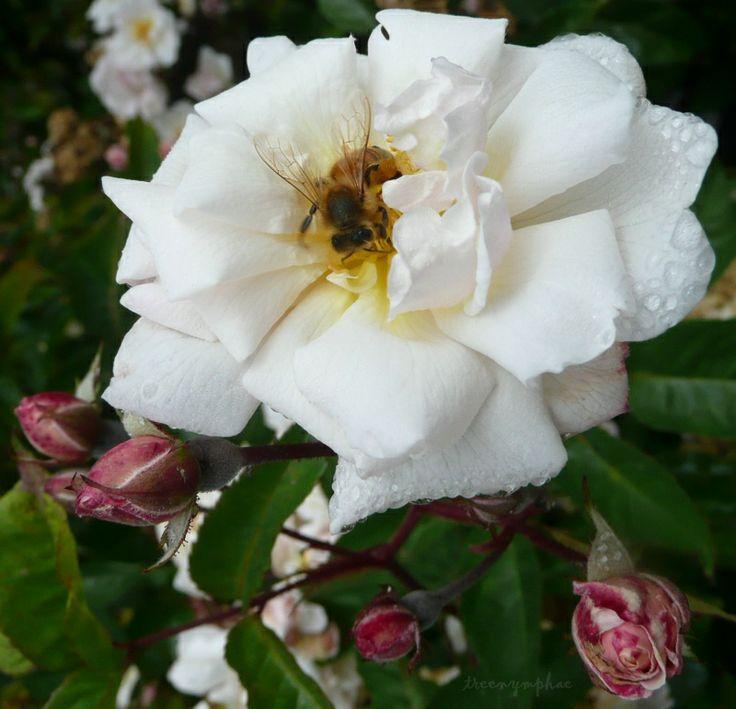 treenymphae — «чудесный калифорнийский сад роз» на Яндекс.Фотках