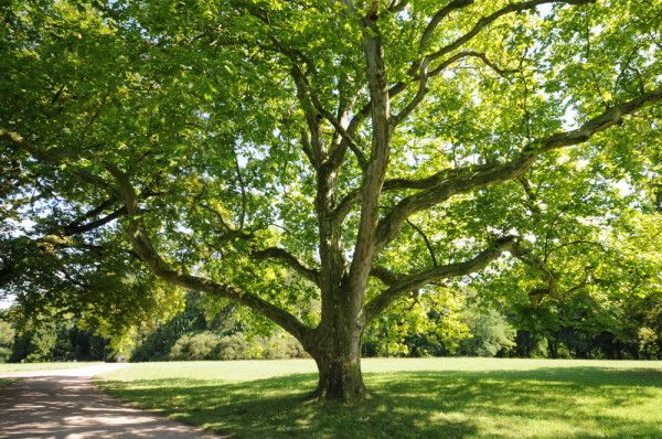 Trees that thrive by rivers: American Sycamore Tree