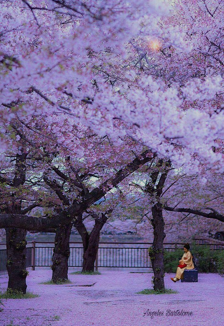 Japón Osaka Sakura
