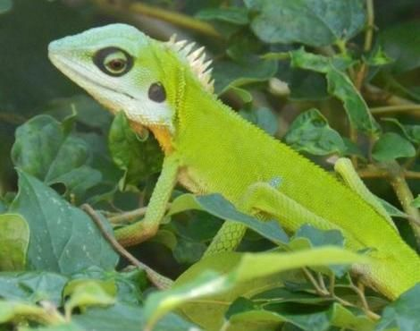 Beautiful brightly coloured lizard in Kampung Juara, Pulau Tioman