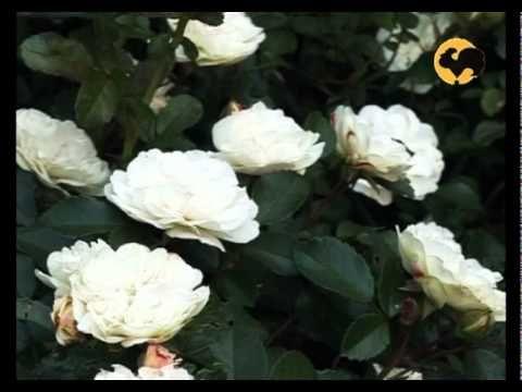 Розы в Саду. серия 7. Классификация роз 1 — Яндекс.Видео