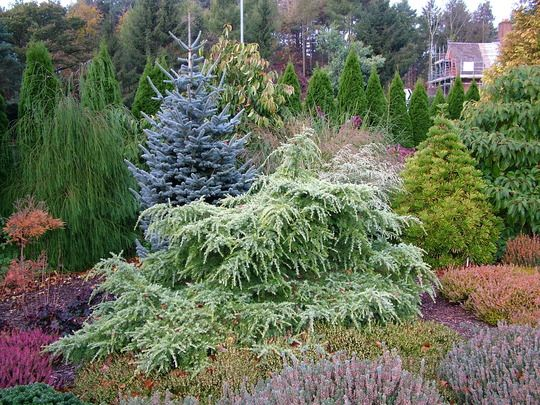 Cedrus deodara 'Golden Horizon' this plant puts up a couple of leaders most years which I always prune out to keep the semi-prostrate weepin...