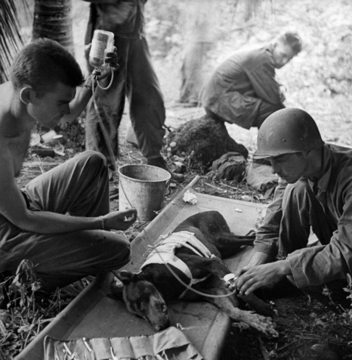 Soldados americanos tratam de  um cão ferido. [II Guerra Mundial de 1944]