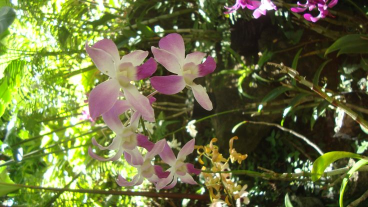 Beautiful Orchids at the garden of the sleeping giant