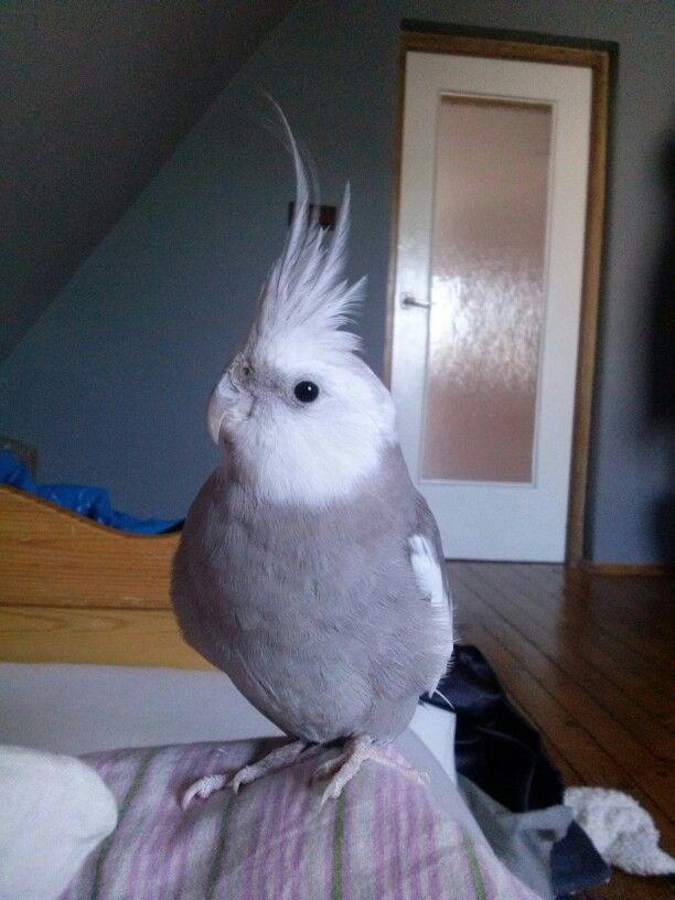 My cockatiel Pietrek :)